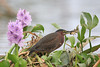 Little green heron with catch