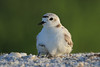 Snowy plover sheltering baby