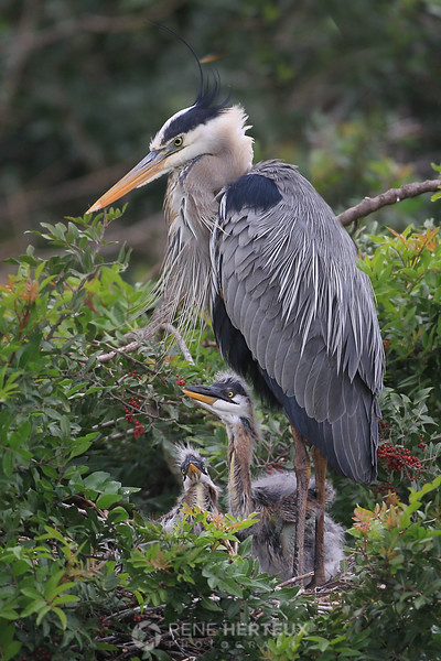 Great Blue Heron with chicks