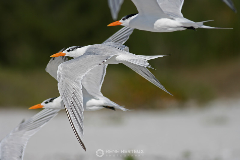 Royal terns in flight