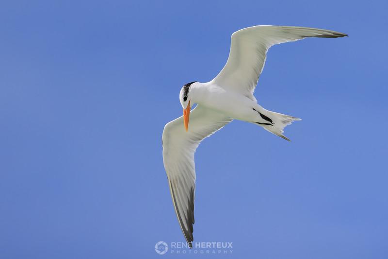 Royal tern flyby
