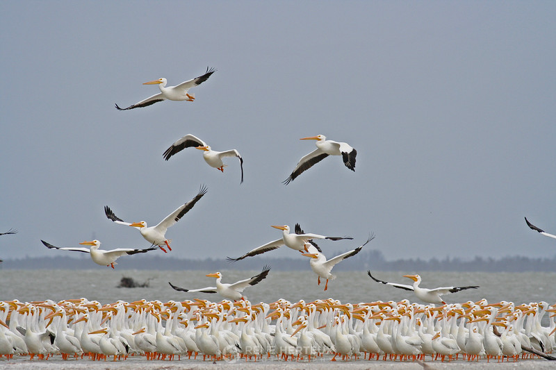 White pelican takeoff