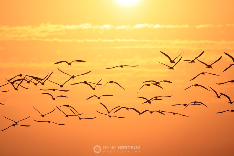 Skimmers in the sunrise