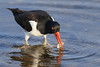 Oystercatcher with clam