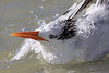 Royal tern taking a bath