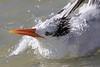 Royal tern taking a bath
