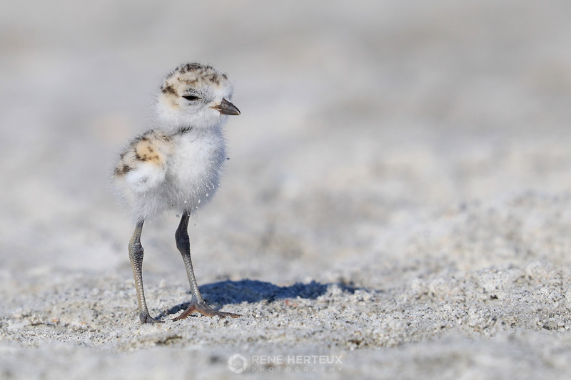 Snowy plover baby