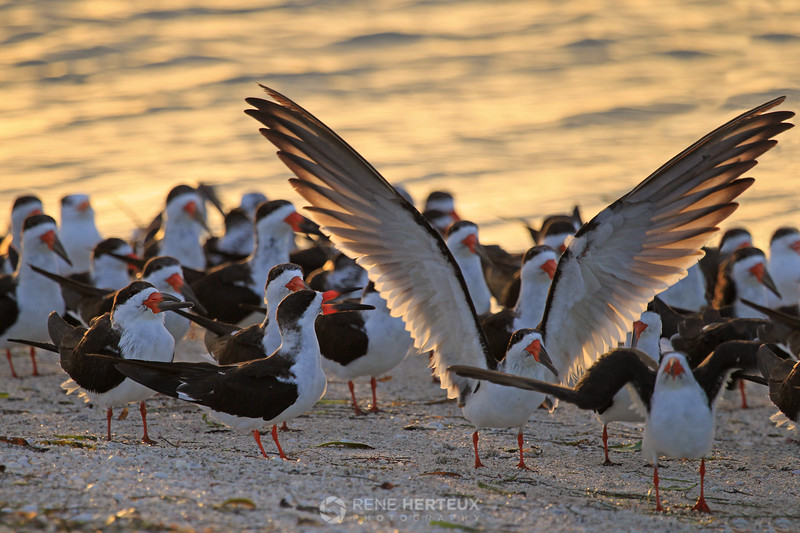 Black skimmer morning stretch