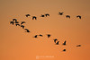 Ibises in the sunset