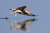 Oystercatcher takeoff