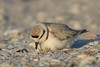 Snowy plover on eggs