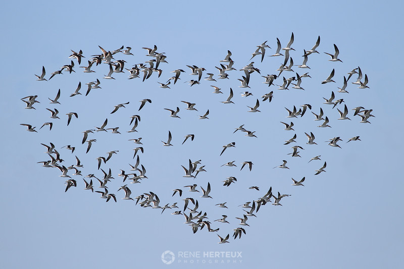 Love on the wing (skimmers in flight)