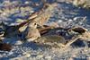 Nesting snowy plover in pen shells