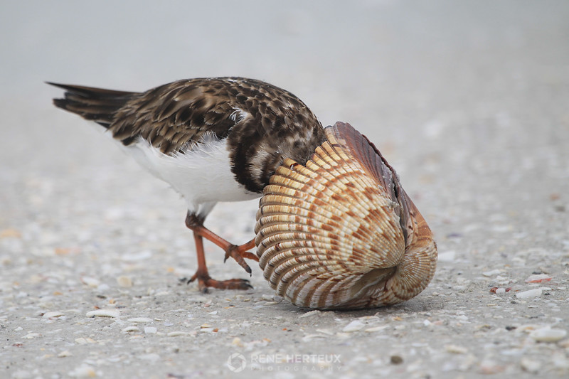 Ruddy turnstone in cockle shell