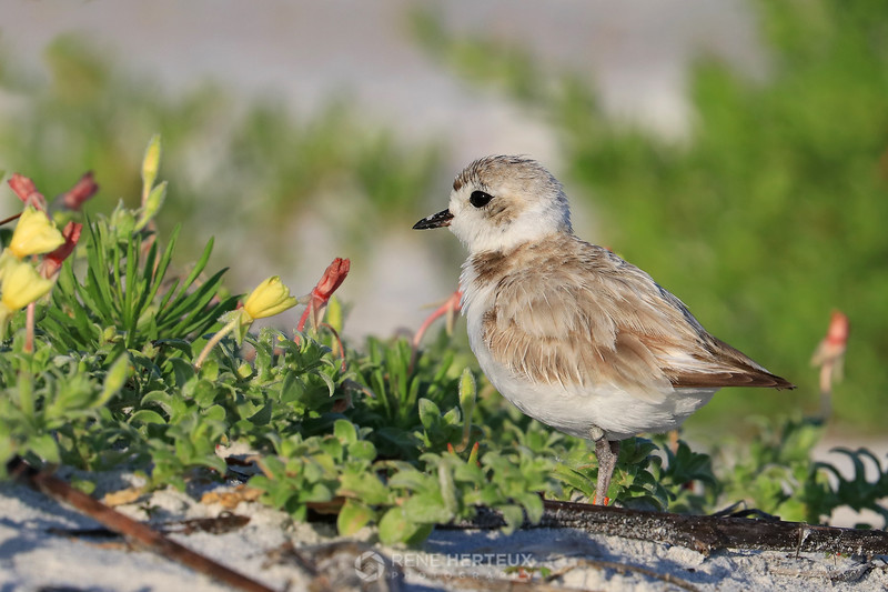 Snowy plover and beach flowers