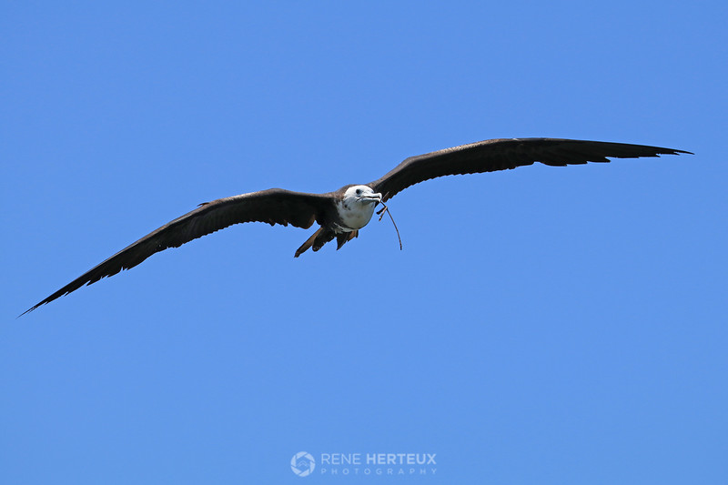 Frigatebird with twig