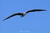 Frigatebird with twig