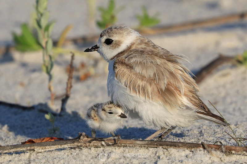 Snowy plover and baby