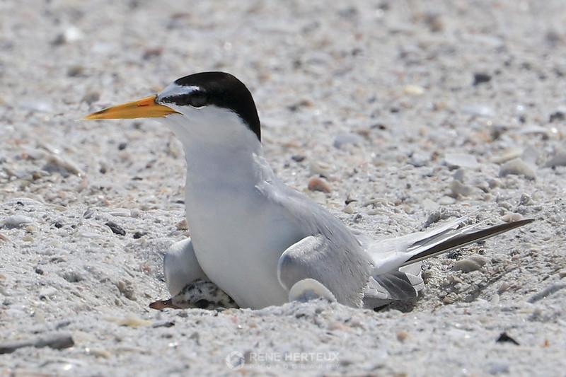 Least tern on chick