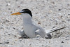 Least tern on chick