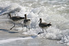 Willets in surf