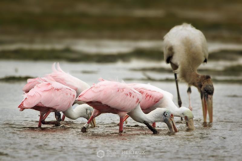 Roseate spoonbills and wood stork