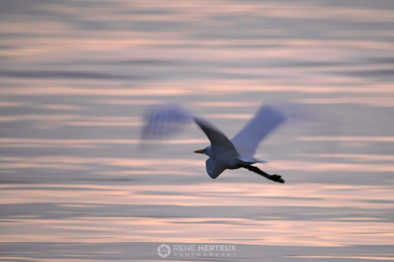 Egret in morning sunrise