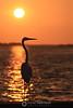 Egret sunset silhouette