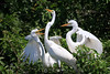 Squawkward family reunion - Great egret with babies