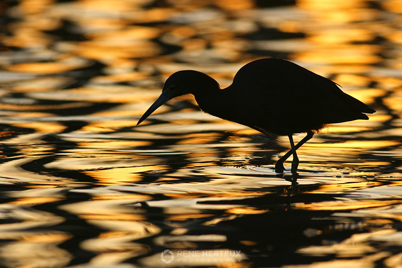 Heron silhouette in sunrise