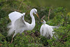 Great egret courtship
