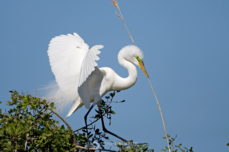 Great egret with grass