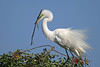 Great egret with stick