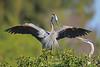 Great blue heron courtship display