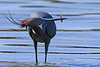 Lunchtime - Little blue heron