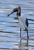 Lucky Strike - Little blue heron