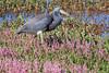 Tri colored heron in flowers