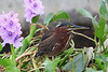 Little green heron in flowers