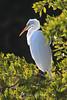 Nicely lit egret