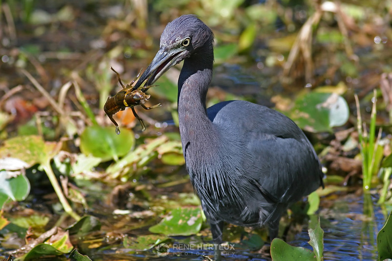 Little blue heron with crayfish