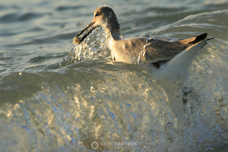 Willet with catch