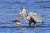 Egret with puffer fish