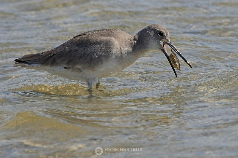 Willet with crab