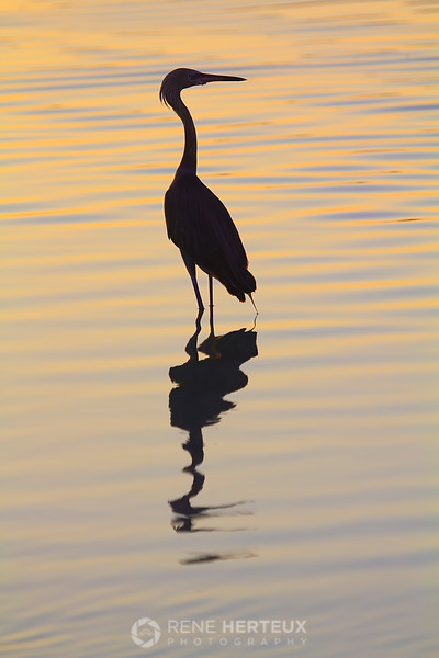Reddish egret in sunrise