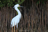 Snowy egret in mangrove shoots
