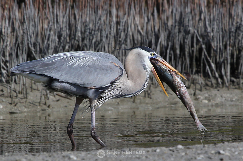 Great blue heron with mullet