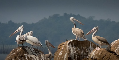 Spot-Billed Pelicans
