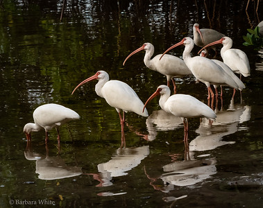 Flock of Ibises Looking for Food