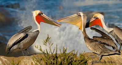 Brown Pelicans Mating Behavior