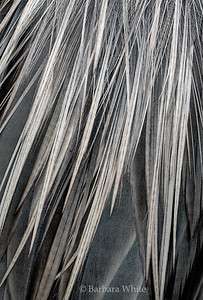 Feathers of the Great Blue Heron